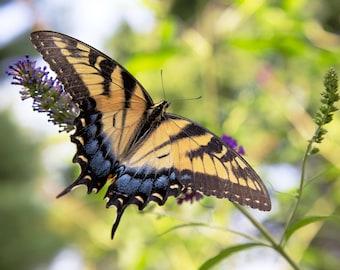 Butterfly Bush (Maryland)