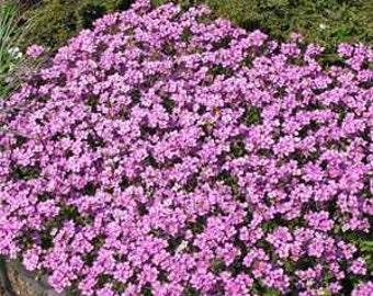 Arabis Rosea Wall Rock Cress Flower Seeds/Perennial  50+