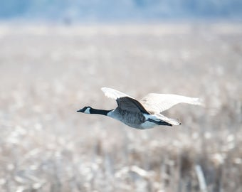 Canadian Geese in flight, Horicon Marsh flying over lake P1108