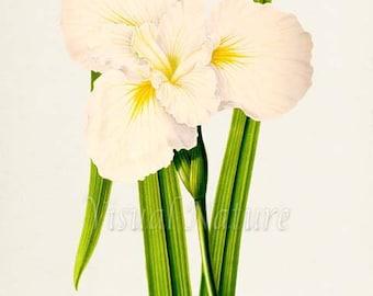 Japanese Iris Flower Art Print, Botanical Art Print, Flower Wall Art, Flower Print, Floral Print, Home Decor, yellow white