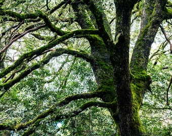 Old Tree   Green   Fine Art Photography   polychromatophil   moss   enchanted   mystic   mysterious   Sequoia   calming   Photo