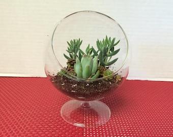 Succulent Plant Glass Pedestal Terrarium DIY Complete Kit with Three Succulent Plants.