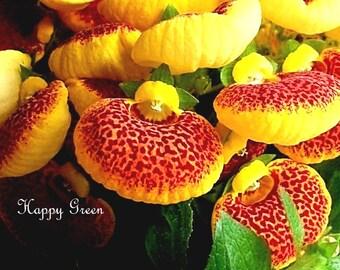 100 SEEDS - SLIPPER FLOWER Mix - Calceolaria Herbeohybrida F2 Fascination nana
