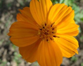 Yellow cosmos Seeds (Cosmos sulphureus)