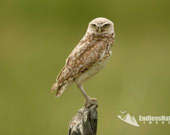 Burrowing Owl, Owl Images, Owl Photography, Burrowing Owl Photographs, Raptor Images, Fine Art Owl Prints, Educational Owl Photography, Bird