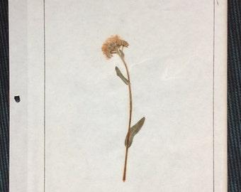 VINTAGE WILDFLOWER DISPLAY, pressed page, 1968 school project, Fleabane,