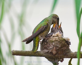 Birds; Mother Hummingbird feeding Baby Birds in Nest ; Part 4 of a photo series; Nature;