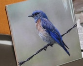 "Ceramic Tile or Coaster  - Bluebird  4.25"" x 4.25"""