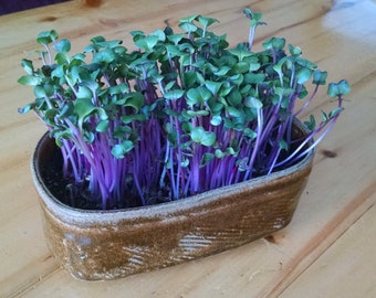 Indoor Organic Garden Salad Sprout Kit - Easily grow your own fresh, healthy food. It doesn't get fresher or healthier than this!