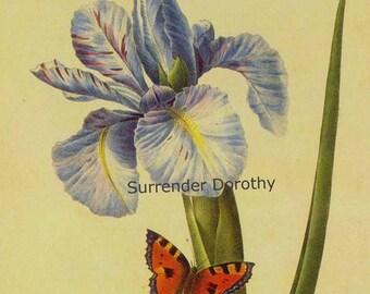 Iris latifolia Xiphium Vintage Illustration Wild Flower Butterfly Lithograph Redoute Botanical Print To Frame 31