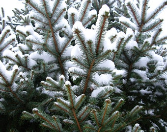 TreesAgain Potted Blue Spruce Tree - Picea pungens - 12 to 18+ inches