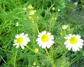 Chamomile - German Chamomile live herb plant, make chamomile tea