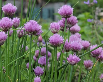 Chives 500 Fresh New Seeds Season 2017 Organic Seeds Bio NonGMO Own Production From My Organic Garden Kitchen Herbs Vegetable Handpicked