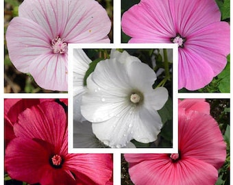 BackPorch Rose Mallow