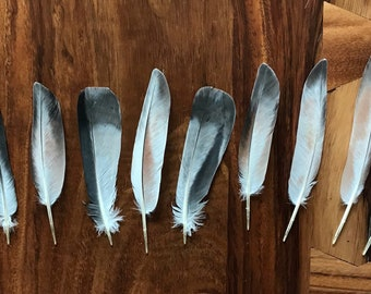 Real Pigeon Feathers, Naturally shed feathers, molted feathers, cruelty free feathers, unusual feathers