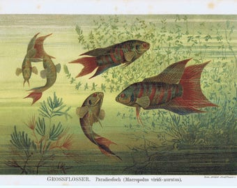 antique print fish with large fins 1895