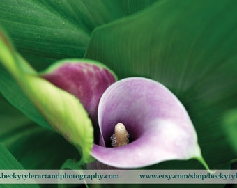 Calla Lily Fine Art Photography Print