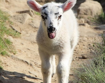 Cheeky The Lamb