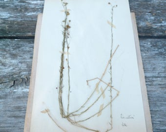Antique 1908s Français herbier Lin cultivé