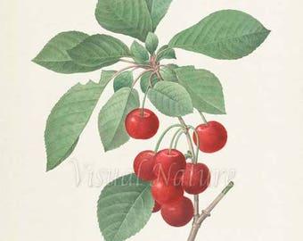 Cherry Botanical Print, Cherry Art Print, Fruit Art, Fruit Print, Kitchen Art, Garden, Redoute Art, Cherries, red, green, Cerasus Domestica