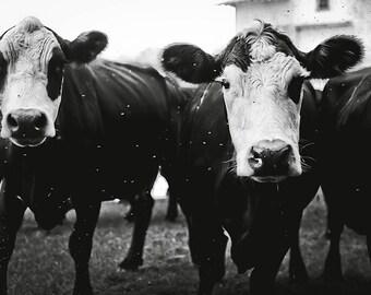 Cow Photo - Farm Animal - Black and White Image - Fine Art Barn Photo - Photography Print - Wall Decor
