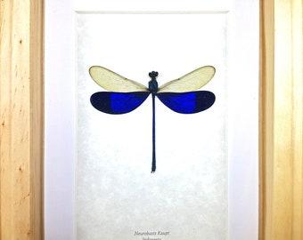 Framed Blue Damselfly Dragonfly Neurobasis kaupi Taxidermy A1 #46