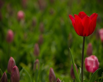 Nature photography, tulip photography, red tulip