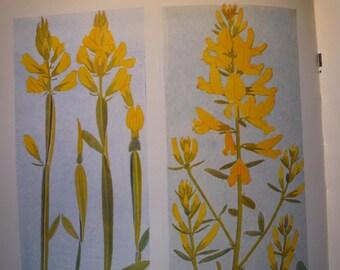 Alpine Flowers Botanical Print - Flower Lithographs - vibrant colors - double sided - frame - glacial - Ceraiste des glaciers Genet aile