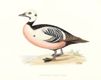 Steller's Eider Duck . Antique Bird Print Vol V . original vintage woodblock art plate dated 1897