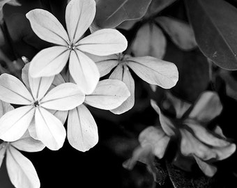Sill Life, Art, Nature Photography, Floral Photography, 5x7 and larger print, Black and White, Garden Flowers