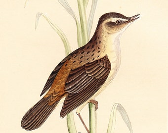 Original Sedge Warbler Print . antique bird plate woodblock . dated 1853