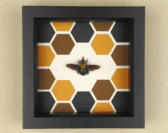 Real Framed Large Carpenter Bee in Black Shadowbox Frame with Hexagon/Honeycomb Pattern; Preserved and Mounted Insect Taxidermy Specimen