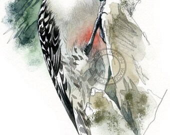 Red-bellied Woodpecker - bird wildlife art - nature print of original artwork