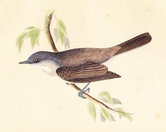 Antique Lesser Whitethroat Print . original old vintage bird plate woodblock . vol III, dated 1853 art specimen illustration