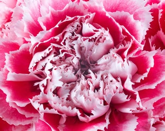 Pink Gelato Carnation Flower Photograph Matted to 12 X 12