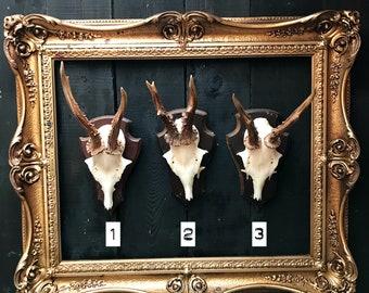 ROE DEER ANTLERS: Vintage German roe deer antlers with skull & mounted on wooden shield.