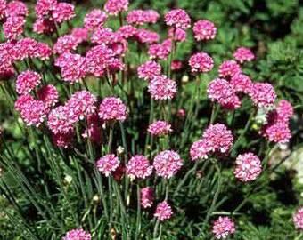 Armeria 'Sea Pink' - 1 Gallon