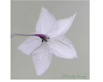 White Flower Photograph, 5x5 photograph. Home Decor, Abstract, Fine Art, Wall Art