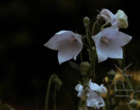 White balloon flower, Western Massachusetts