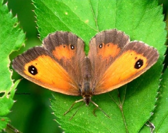 Nature Print, Wildlife Color Photograph, Gatekeeper Butterfly, Hedge Brown, A3 or A4 Size.