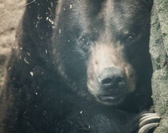 The Sultry Bear Black Bear Art Boho Bear Vintage Bear Portrait Art Photography by Sarah McTernen