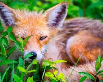 Fox Siesta