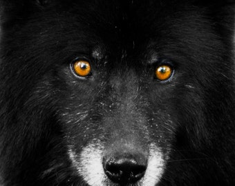 Brown Eyes,3Butterflies Photography, photos, photography, black wolf, brown eyes, dog