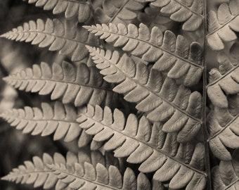 may fern, 8x10 fine art black & white photograph, nature