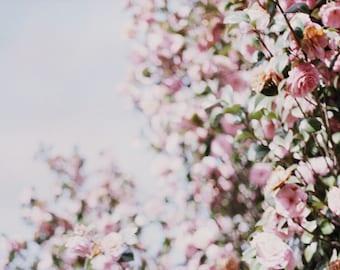 Spring Blossoms (35mm film)