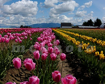 Rows of Tulips on a beautiful spring day