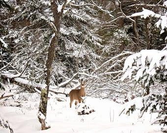 Michigan Whitetail Deer in Snow Print, Woodland Deer Print, Deer in Snow, Wildlife Photography, Wilderness Decor, Deer Photo, Deer Picture