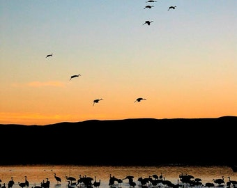 Sandhill Cranes Landing,  Bosque del Apache, NM Color Photograph
