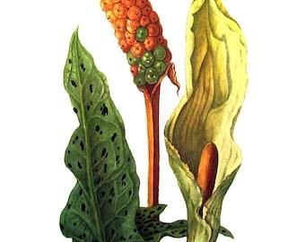 Cuckoo Pint - 1970's Wildflowers Print - Botanical Print - Vintage Color Illustration - Vintage Book Page - 10 x 8 - 1973