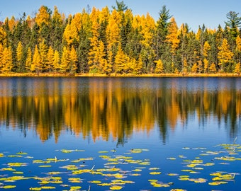 Autumn Photography, Tree Reflections, Tamarack, Fine Art Print, Brilliant Fall Colors, Blue Golden, Up North, Wisconsin, Lake, Home Decor